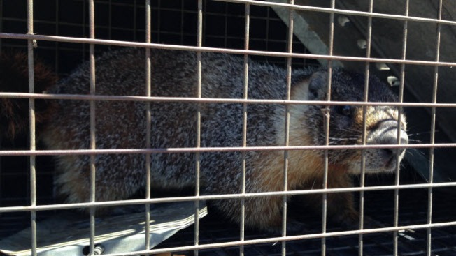Marmot Captured in Potrero Hill Backyard to be Returned to Yosemite Monday