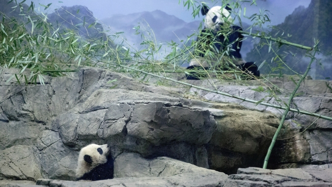 National Zoo Wants You to See This Panda Inseminated
