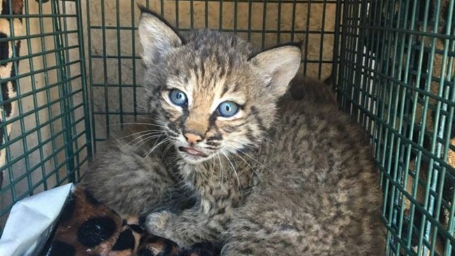 [NATL-DFW] Texans Mistake Bobcat Kittens for Domestic Kittens