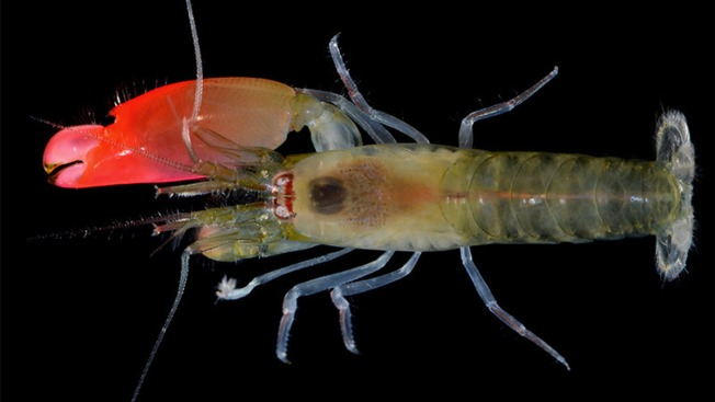 Researchers Name Loud Shrimp After Pink Floyd