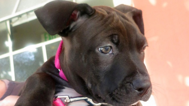 Stolen Pit Bull Puppy Returned to San Francisco Shelter