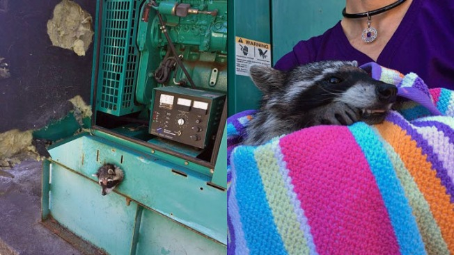 Slick Thinking: SF Animal Control Rescues Stuck Raccoon