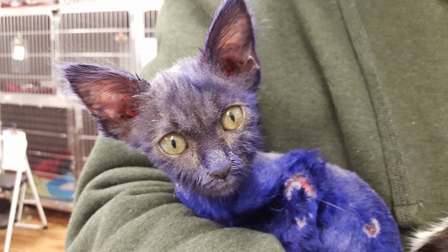 Abused, Abandoned Kitten Recovering at Animal Shelter After Being Dyed, Used as Chew Toy