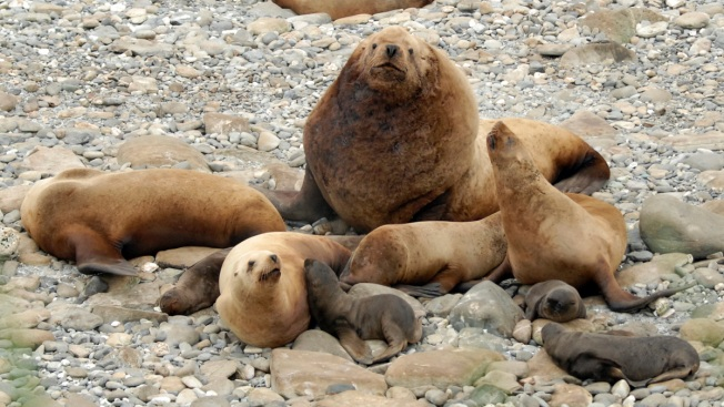 Alaska Sea Lion Study Gets Help From Crowdsource Volunteers