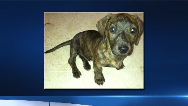 Puppy Stolen in Mountain View Located