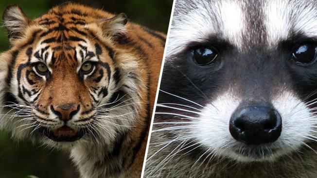 Tiger online datingAlter der Dating-Einwilligung in florida