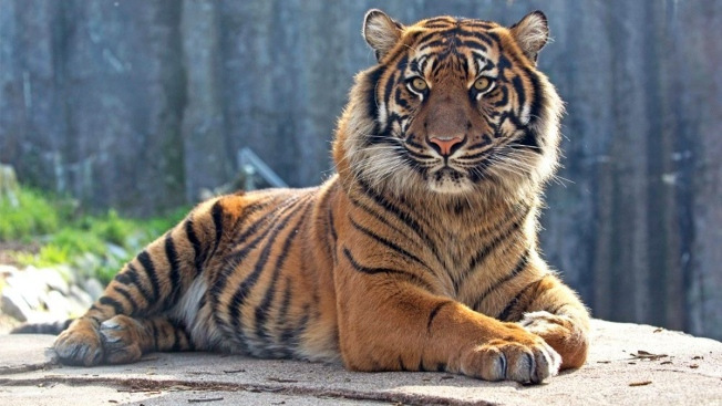 Rare Sumatran Tiger Celebrates Third Birthday at San Francisco Zoo