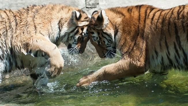 Tiger Attacks Worker at Okla. Animal Park