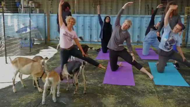 Goat Yoga Finds Fans in San Francisco