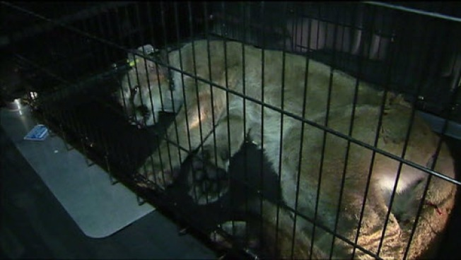 Mountain View Cougar Hid Near Street for 9 Hours: Report