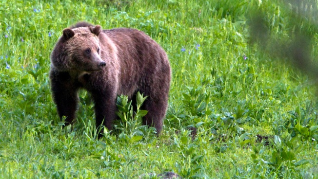 U.S. Seeks End to Yellowstone Grizzly Protections