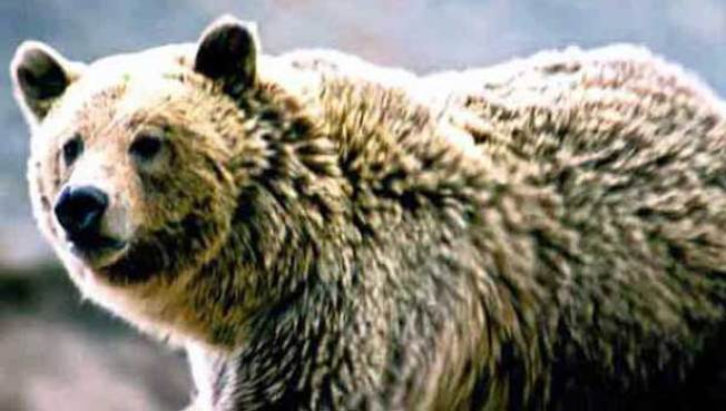 California Man Killed by Bear in Alaska