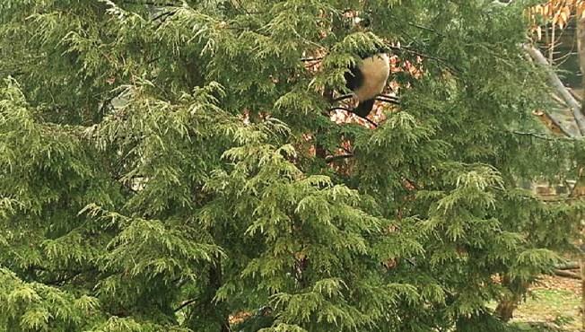 "Boo-Boo for Bao Bao? Panda Cub Spends Night in Tree After Touching ""Hot Wire"""