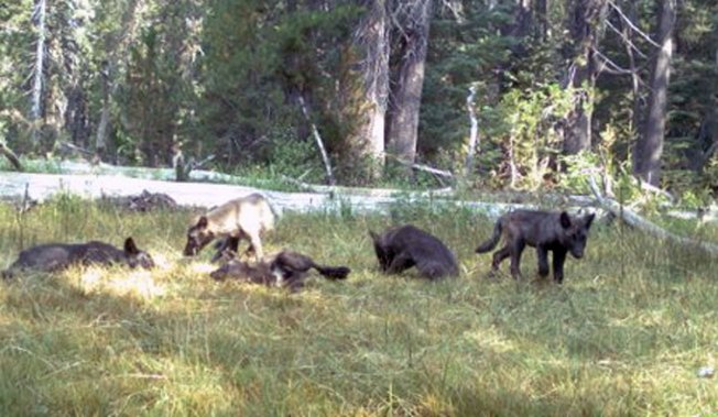California's First Wolf Pack in Decades Caught on Camera