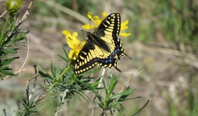 The Winged Beauties of Mount Diablo