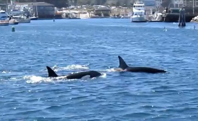 Killer Whales Swim Into Monterey Harbor