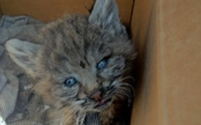 Bobcat Kitten Rescued from Fire