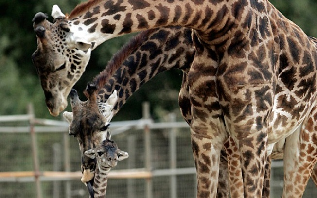 Two-fer Holiday: World Giraffe Day + Father's Day