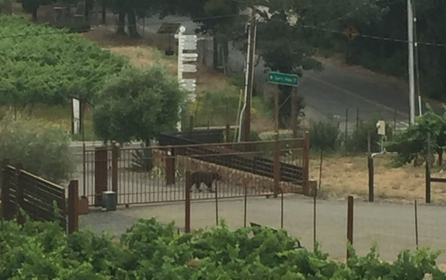 Bear Seen Walking on Highway 128 in Sonoma County