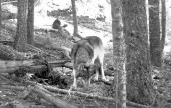 Hunter Captures Image of Lone Gray Wolf