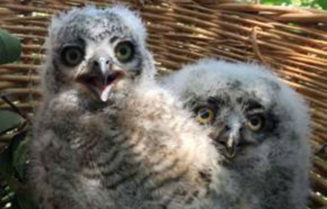 Three Baby Owls Safe and Sound After Fall