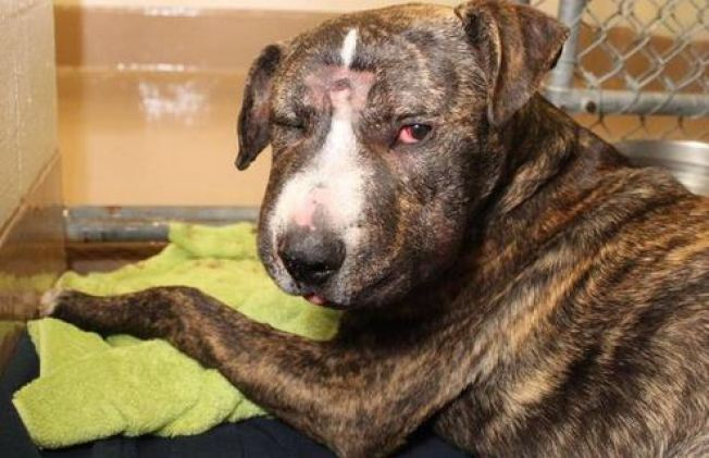 """His Body Was Not Able to Recover"": Savagely Beaten Pit Bull Terrier Mix, Maximilian, Dies"