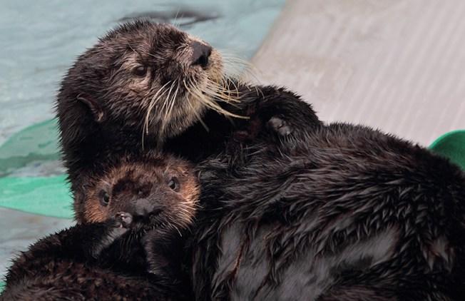 Otters Return to Monterey Bay Aquarium