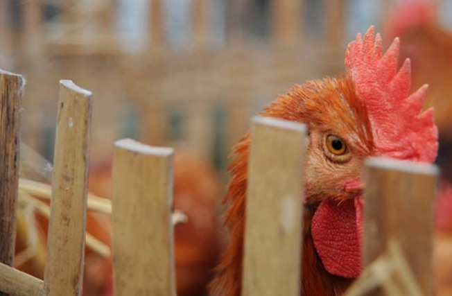 Sonoma Electricity May Come from Chicken Poop