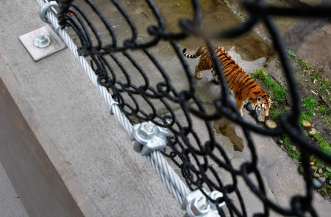 SF Zoo Sees First Traffic Spike Since Tiger Attack