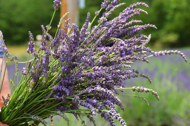 Lavender Time: You Pick It at Cache Creek