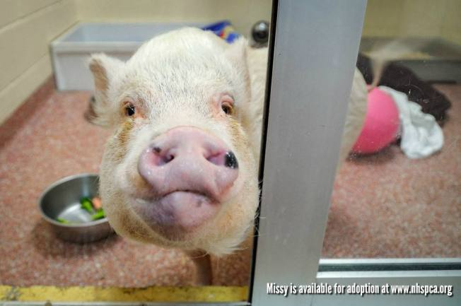 Pet Pig Gets 2nd Chance After Ending Up at Butcher
