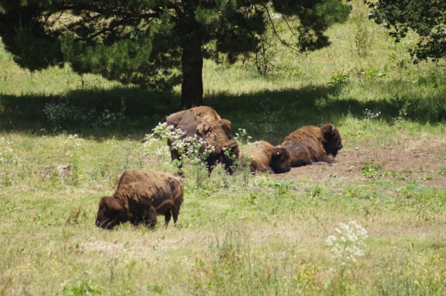 Officials Euthanize GG Park Bison