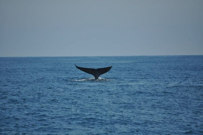 Monterey Bay Boaters Beware Blue Whales