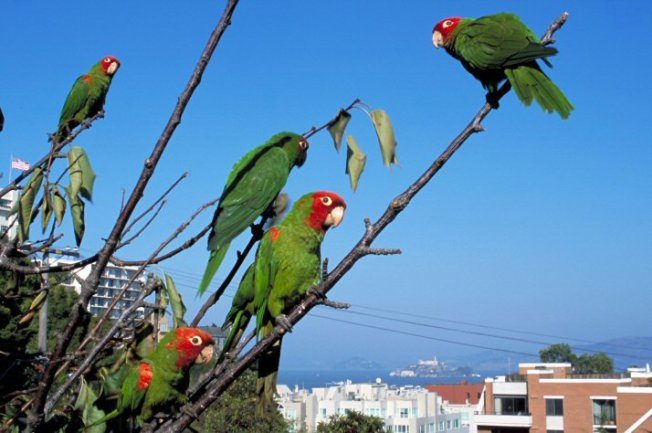 Telegraph Hill's Wild Parrots Flee to Suburbs