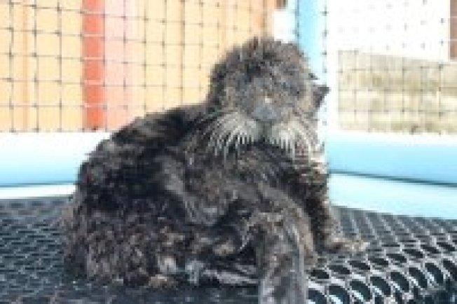 Olive the Oiled Otter Makes it Back to Bay