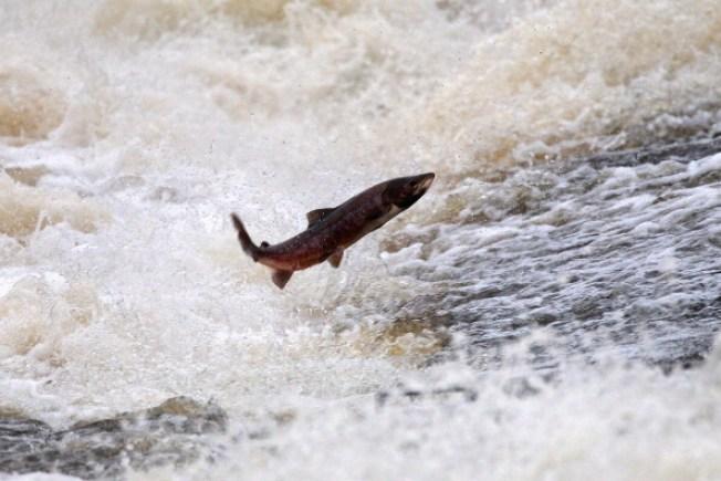 Nearly Vanished Fish Slowly Returning to Delta