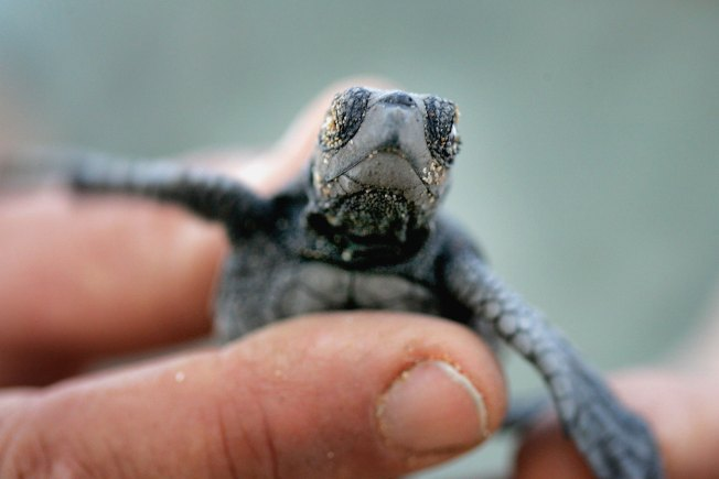 Caught on Webcam: Baby Turtles Gone Wild