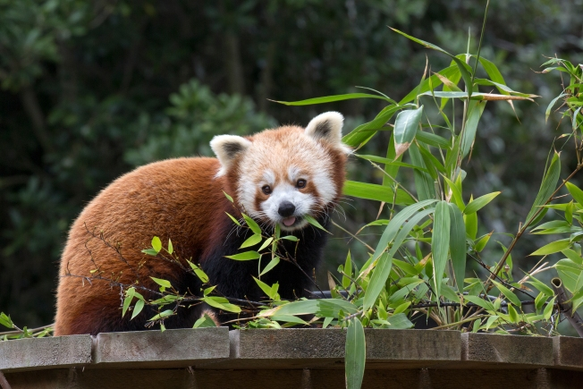 Reduce Stress With SF Zoo's Red Panda Cam on Election Day