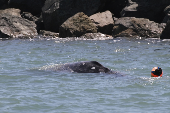 New Entangled Whale Freed Off NorCal Coast