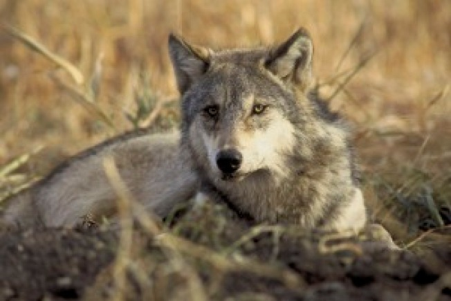Lone Gray Wolf Enters California