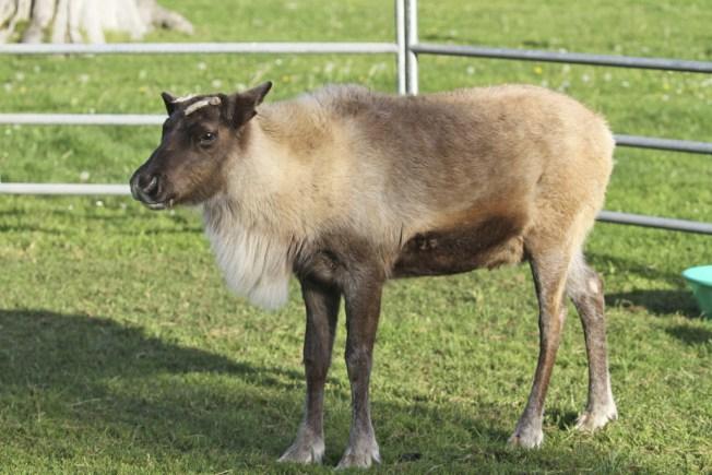 Meet Tinsel: San Francisco Zoo's Reindeer Calf