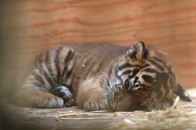 Sumatra Tiger Born at San Francisco Zoo