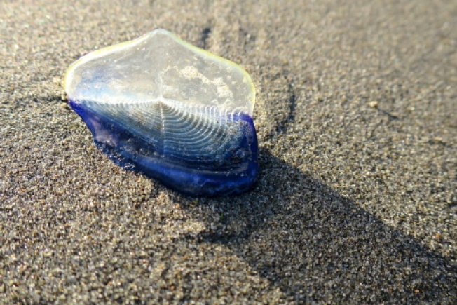 Thousands of Blue Sea Creatures Wash Up on Local California Beaches