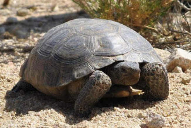 Butch is Back: Tortoise Returns to South Bay Home