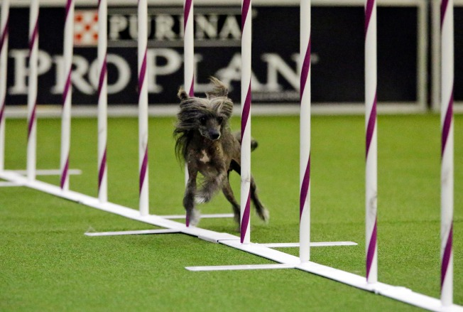 Border Collie Wins Westminster Agility Contest