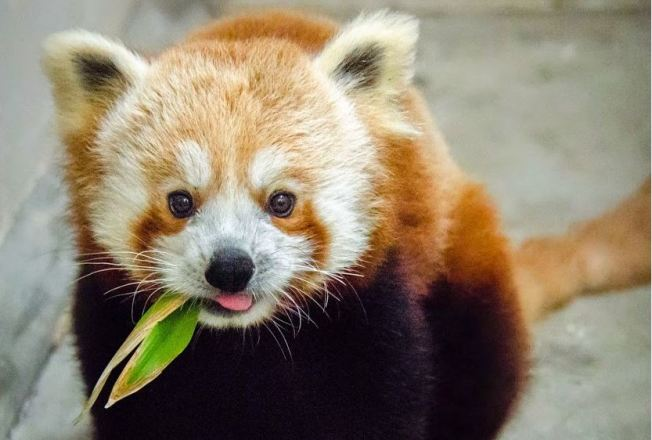 Red Panda Arrives at San Francisco Zoo