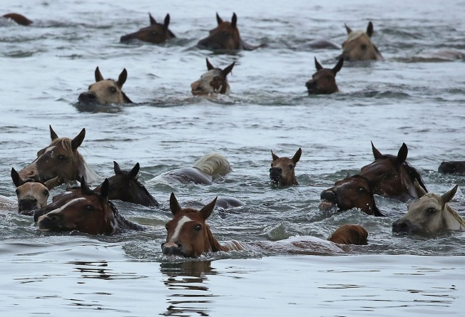 [NATL-DC]Photos: 200+ Wild Ponies Take a Swim on Virginia's Eastern Shore