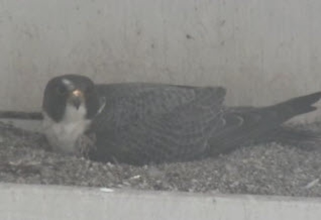 Four Falcon Eggs of 2013 Laid Atop San Jose City Hall