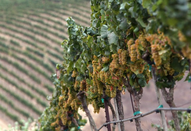 Famed Vineyard Doubles as Pot Farm