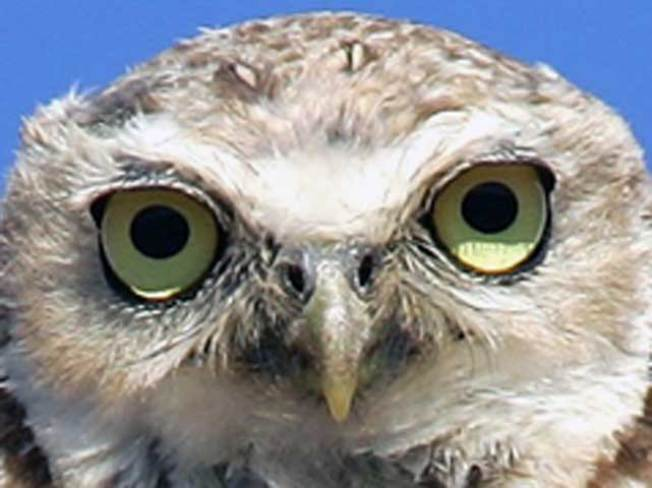 Owl Traps Dozens in Homes